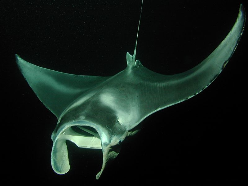 Diving with Manta Rays - Once in a Lifetime Experience | Adrex.com